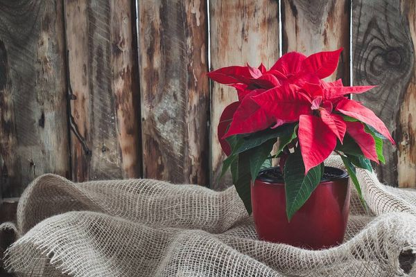 well looked after poinsettia on fabric in front of wooden wall