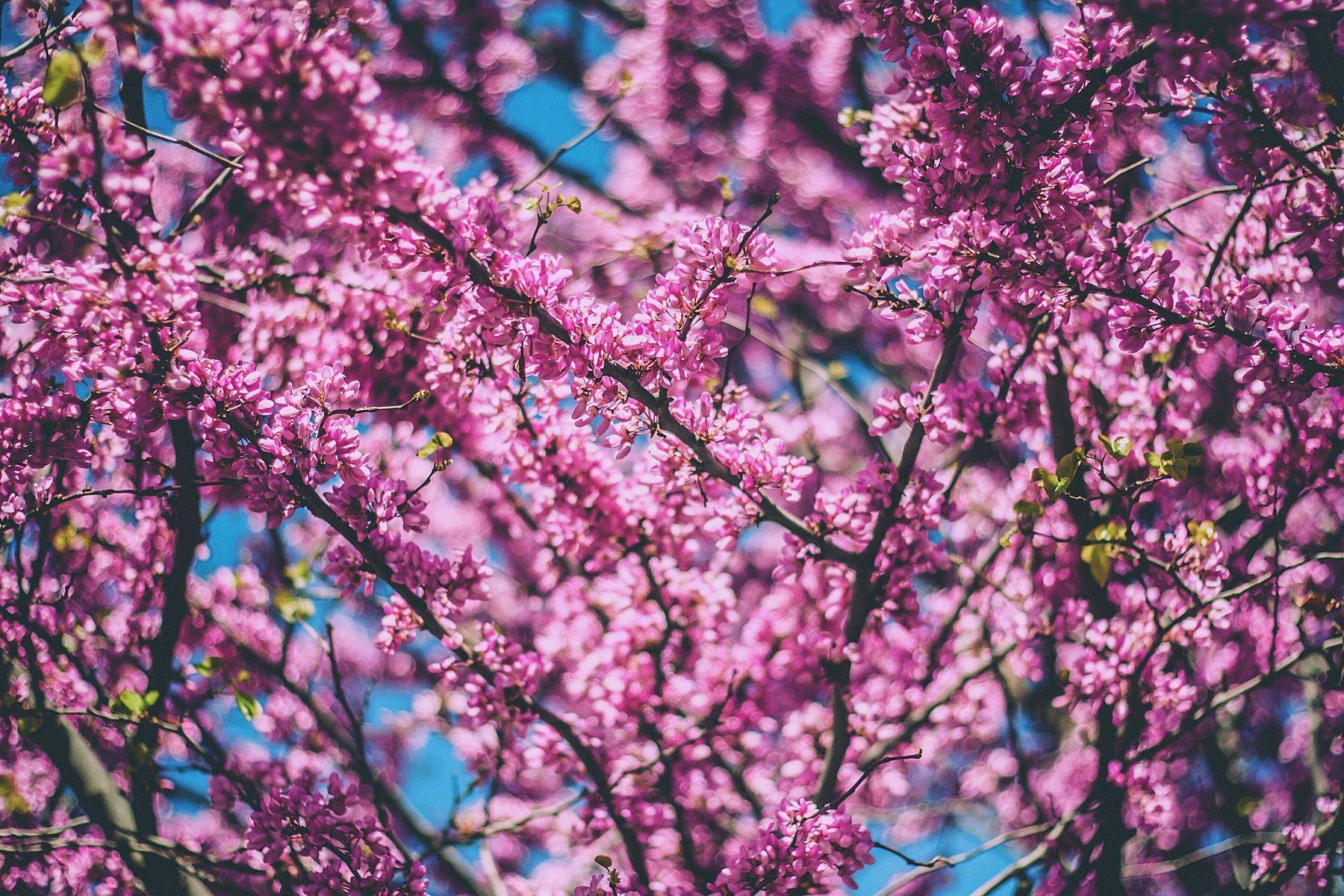 trang trí tết bằng hoa anh đào