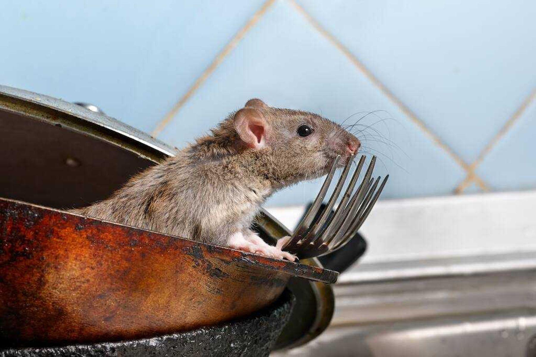 rato-cinza-dentro-de-uma-panela