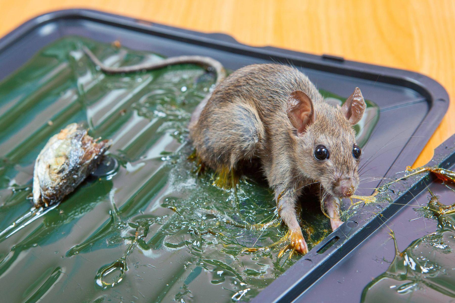 Cách bẫy chuột bằng keo dính