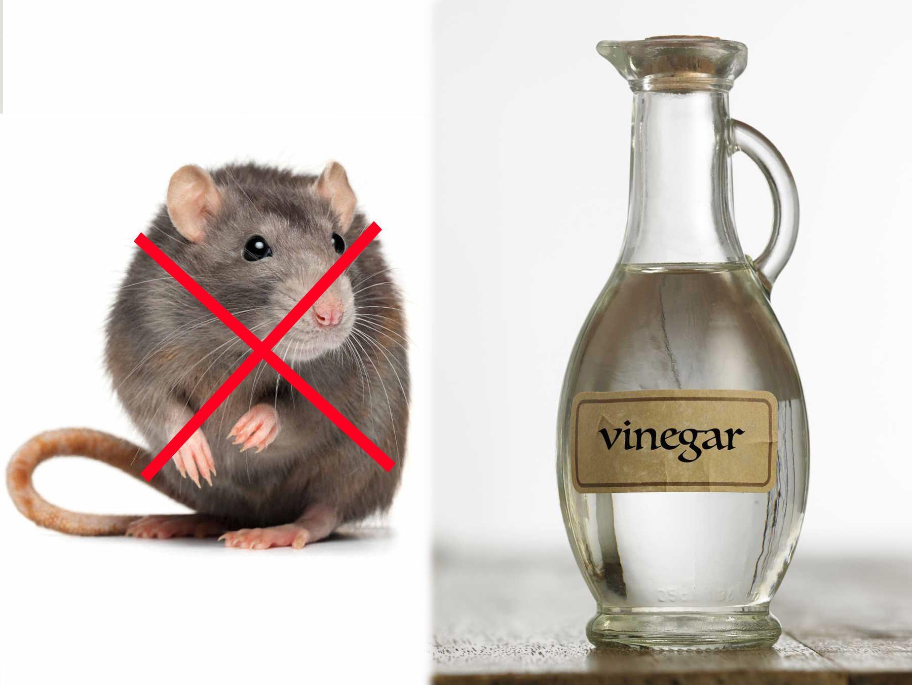 Cách đuổi chuột bằng giấm
