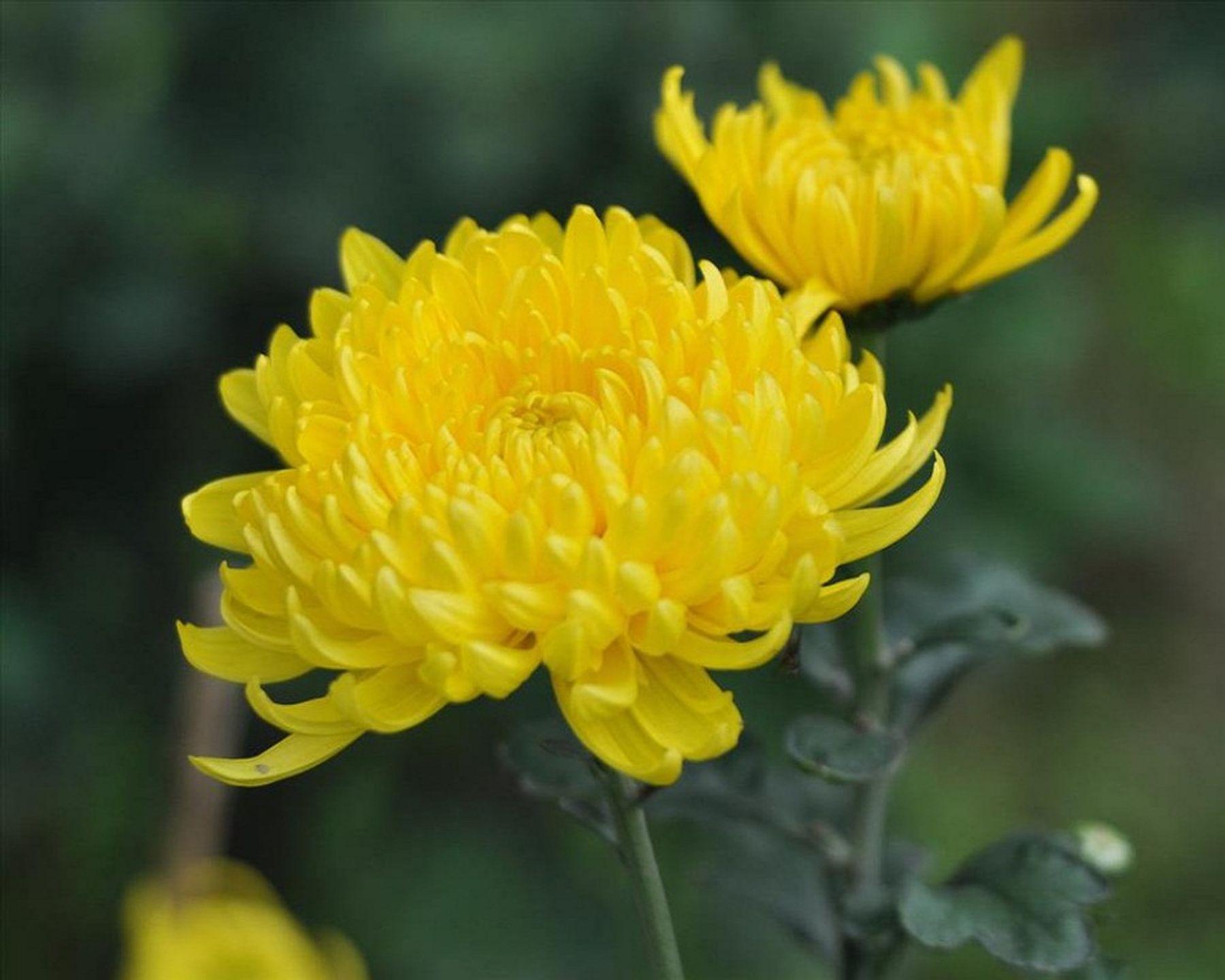 Tết nên chưng hoa gì - hoa cúc vàng