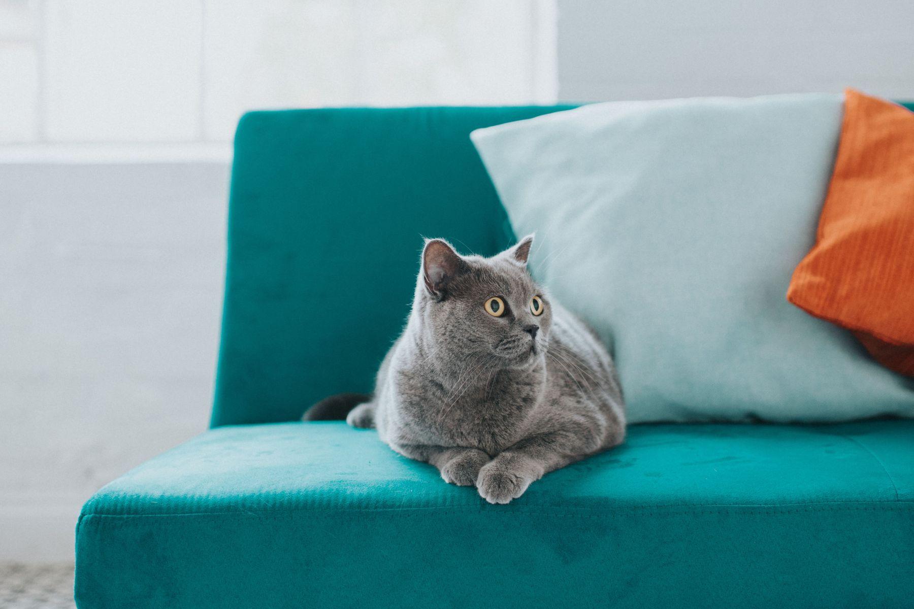 chat gris et coussins verts et orange sur le canapé bleu