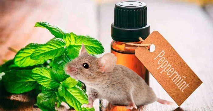 Sử dụng tinh dầu bạc hà đuổi chuột