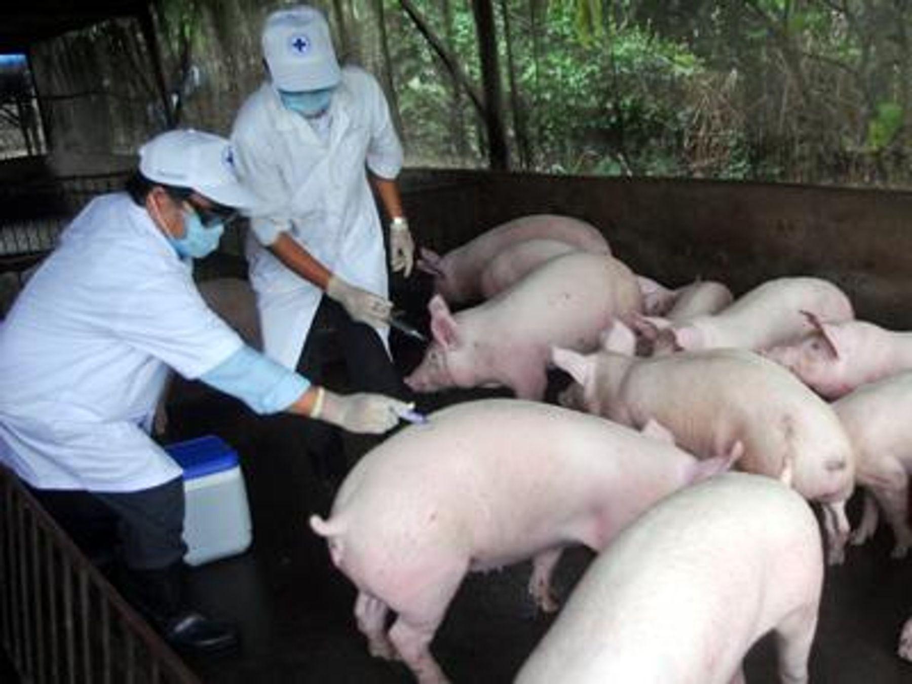 Cần làm gì với bệnh dịch tả lợn Châu Phi
