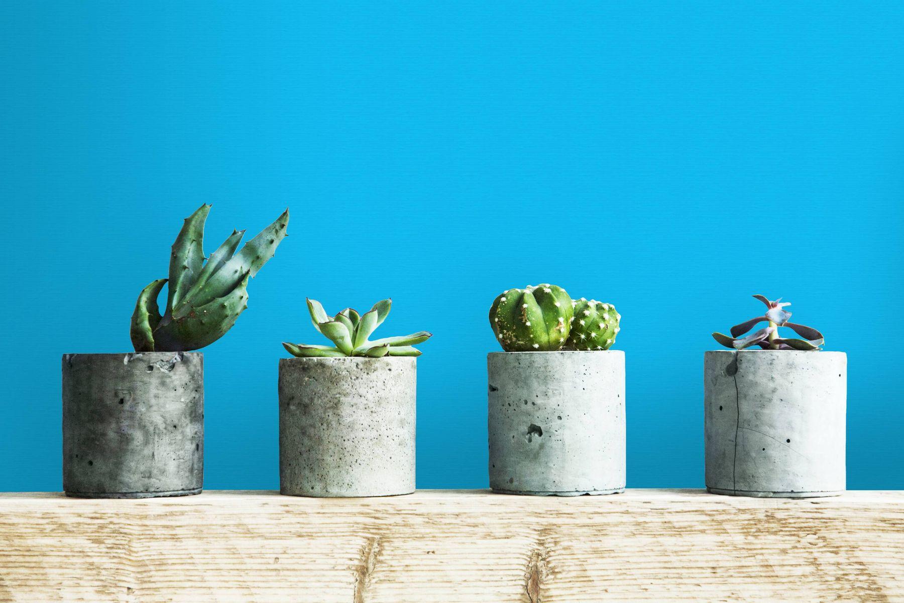 Quatro vasos pequenos com cactos em fundo azul