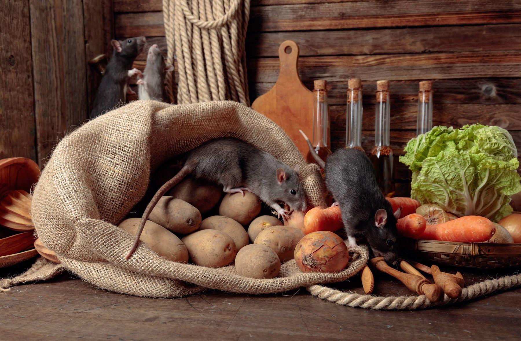 Cách diệt chuột bằng khoai tây