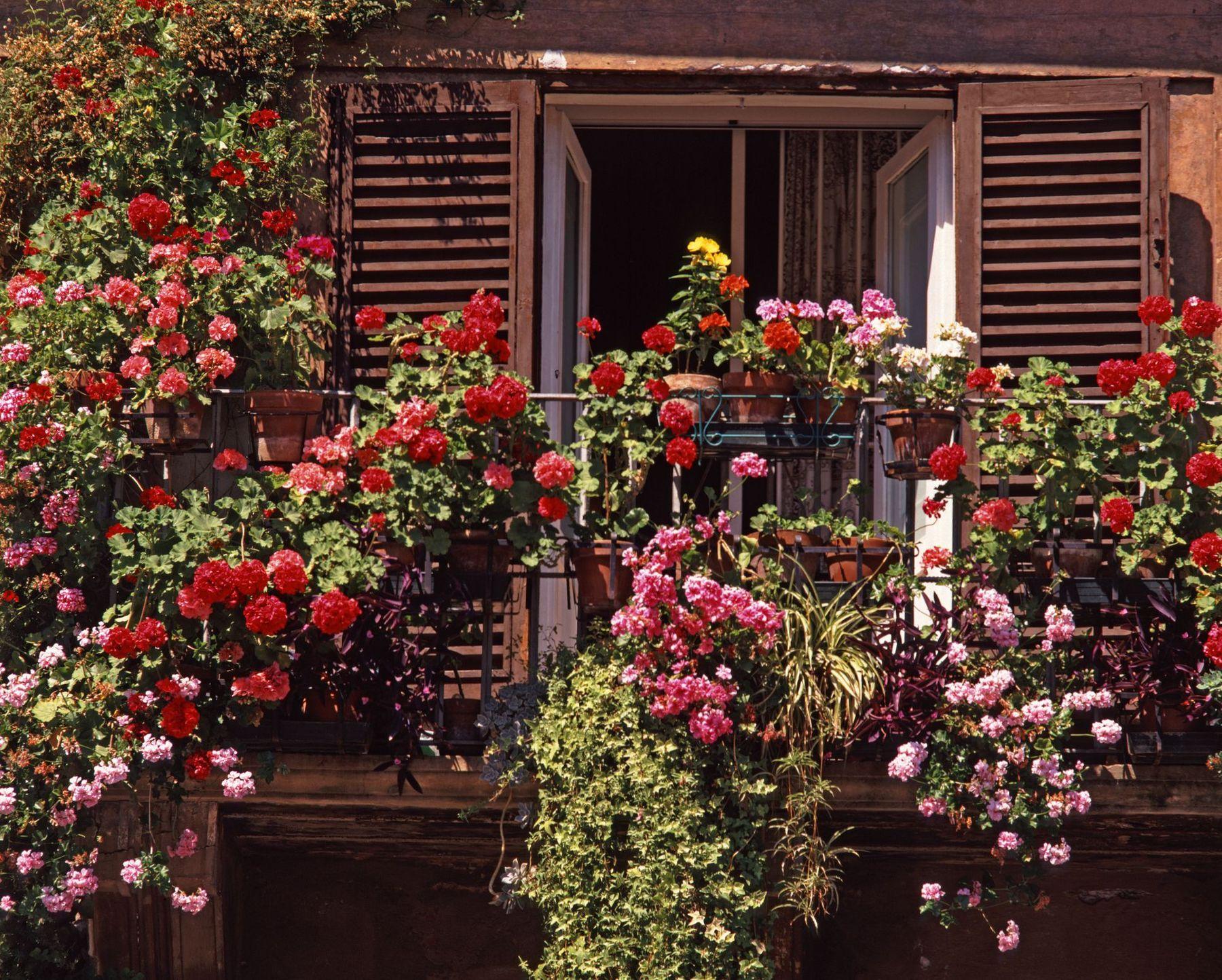 Trang trí ban công bằng hoa hồng leo