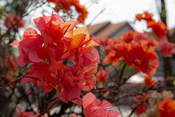 Tips Menanam Bunga Kertas (Boungeville) agar Rumah Semakin Cantik