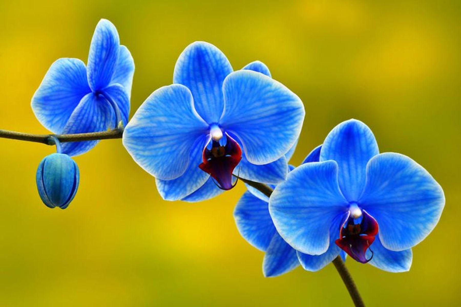 Tết nên chưng hoa gì - lan hồ điệp