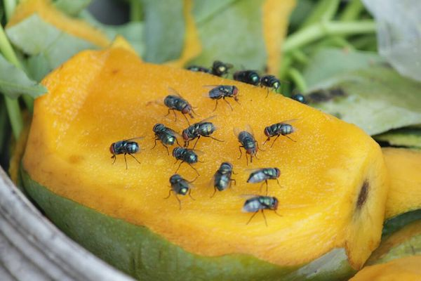 fruit flies on a yellow fruit