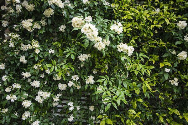 Cara menanam tanaman rambat