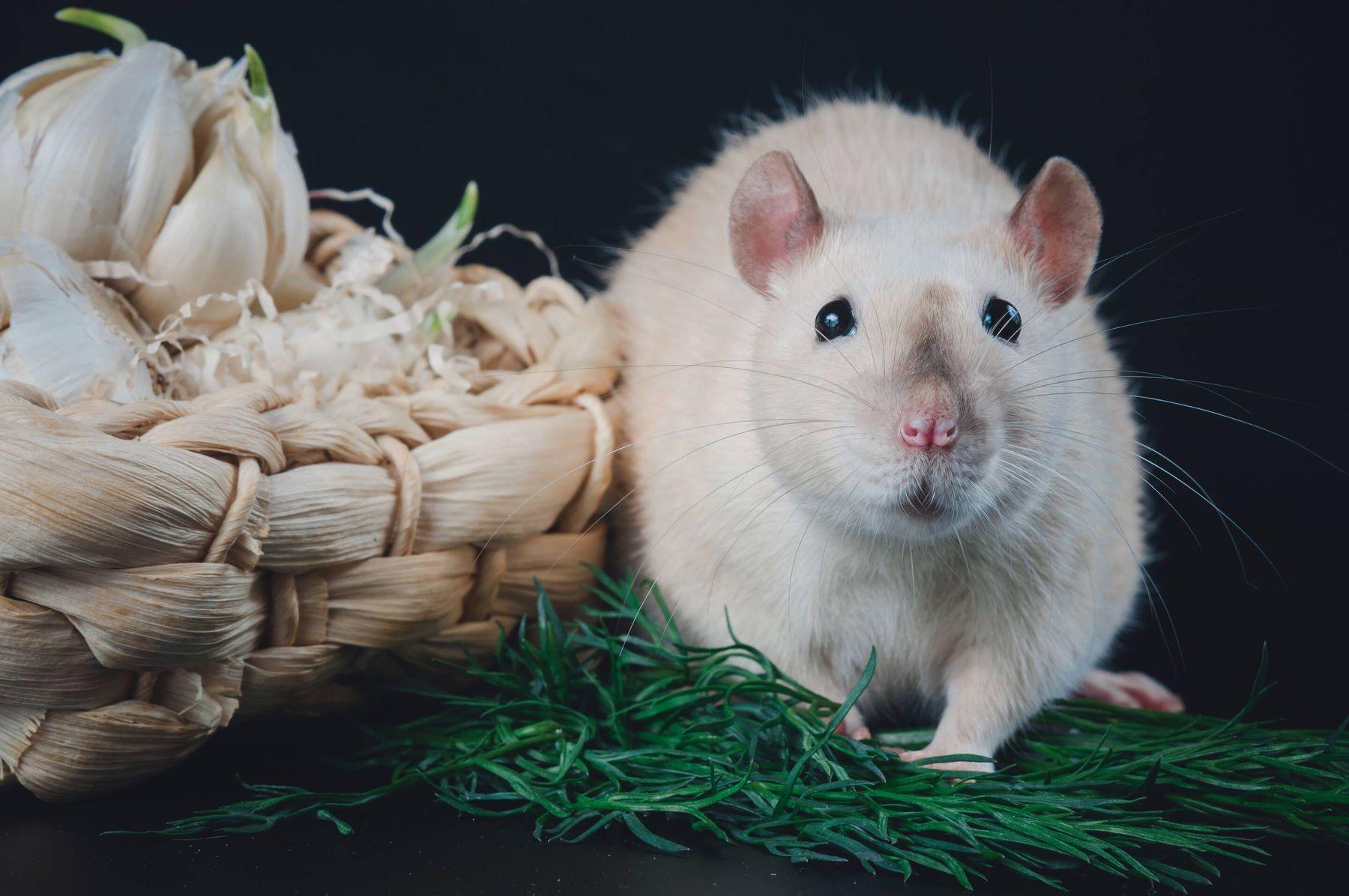 Dùng tỏi đuổi chuột
