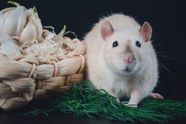 4 Lưu ý để sử dụng thuốc diệt chuột an toàn và hiệu quả