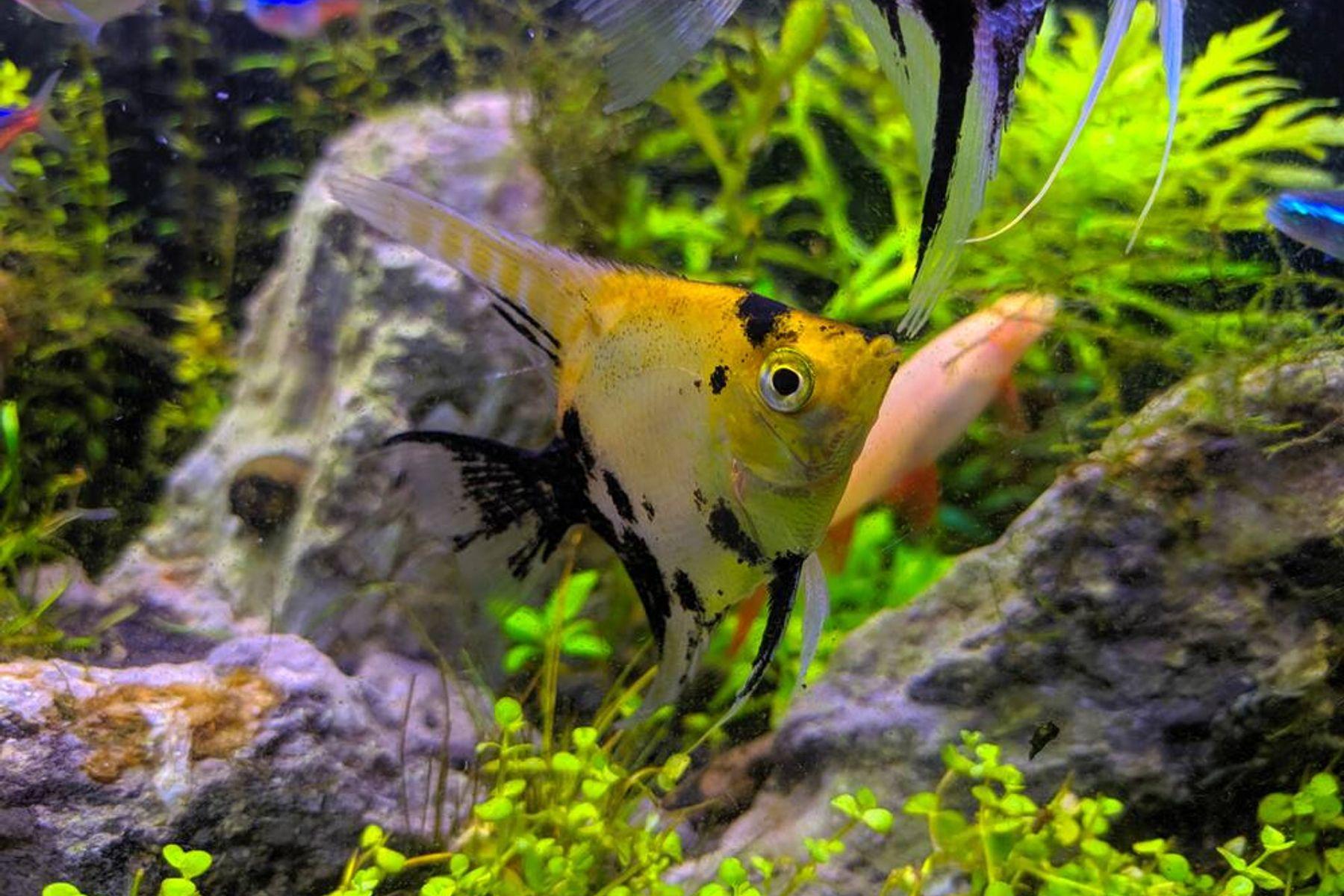 Cantiknya Ikan Manfish Si Malaikat dari Air Tawar