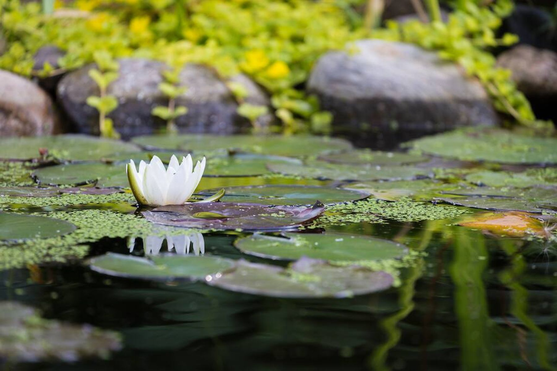 How to build a wildlife pond: The surface of a pond with water lilies floating on top