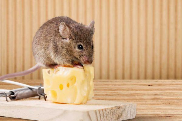 21 Cách đuổi chuột ra khỏi nhà, phòng trọ đơn giản nhưng cực hiệu quả
