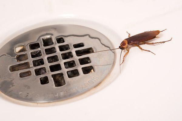 Gián trú ẩn trong nhà vệ sinh gây hại sức khỏe con người