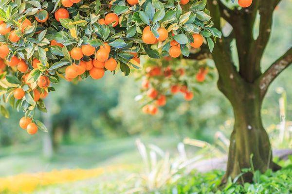 Pohon buah jeruk