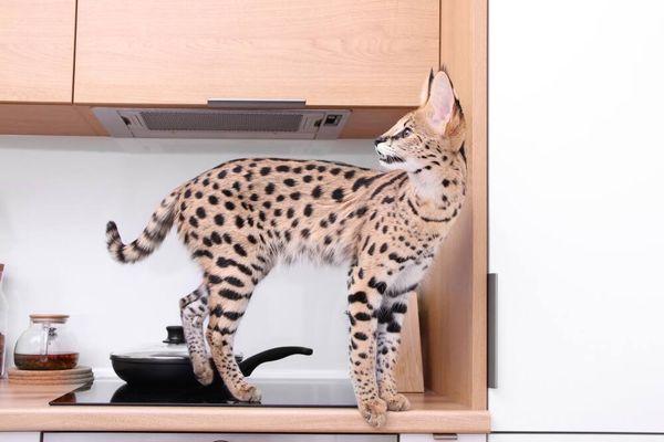 Mengenal Kucing Ashera yang Harganya Mencapai Miliaran