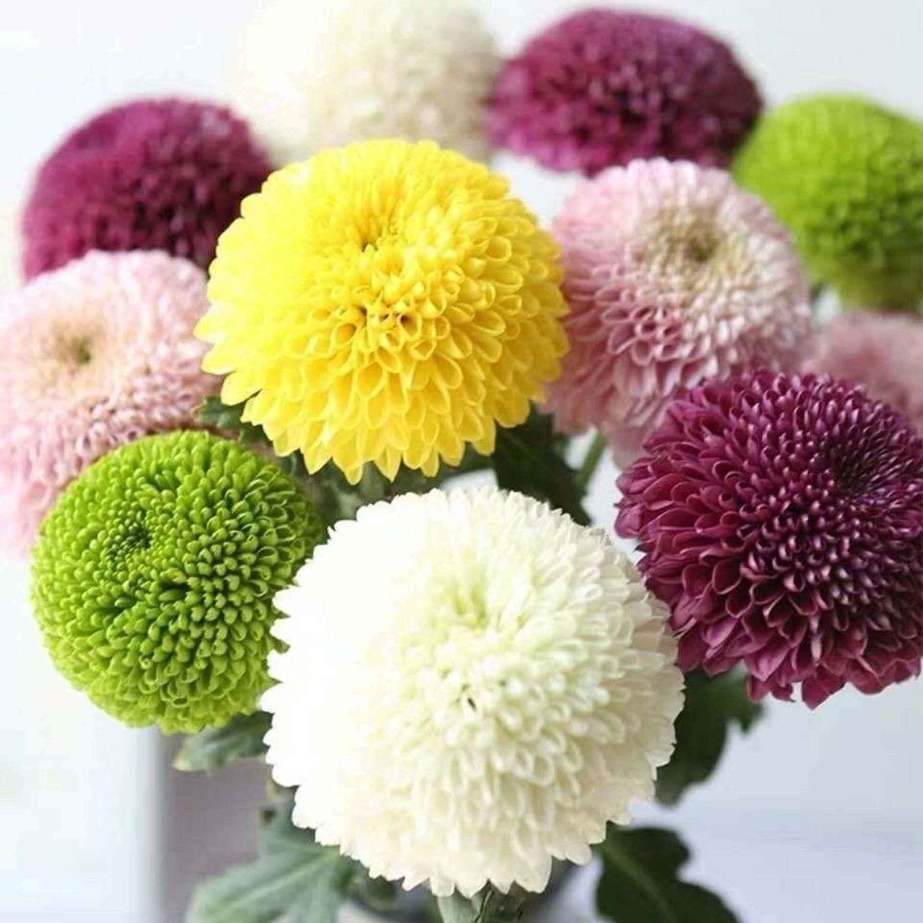 Hoa cúc pingpong