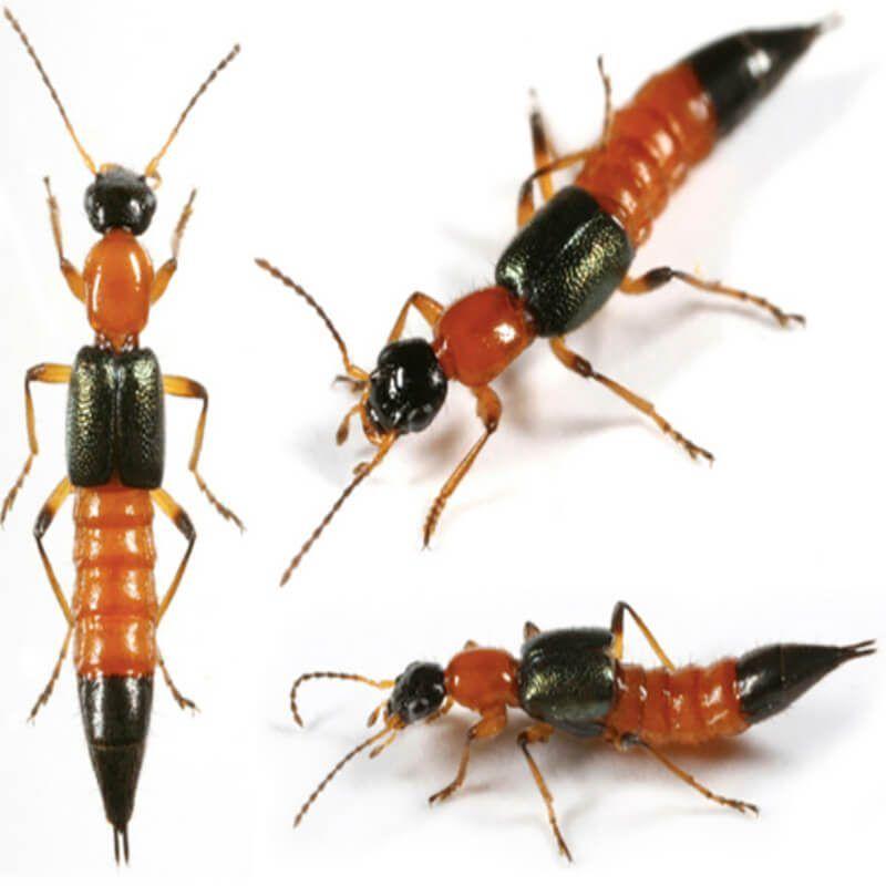 cách tiêu diệt kiến ba khoang như thế nào hiệu quả