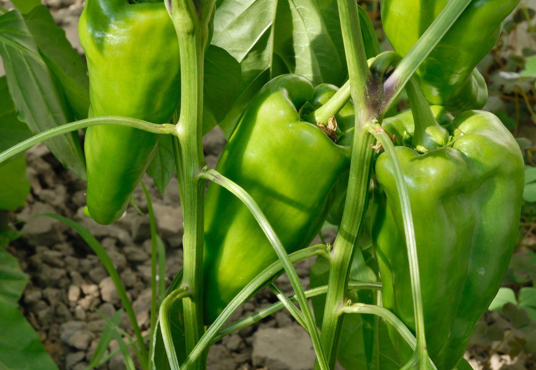 Kinh doanh online nông sản sạch ớt chuông