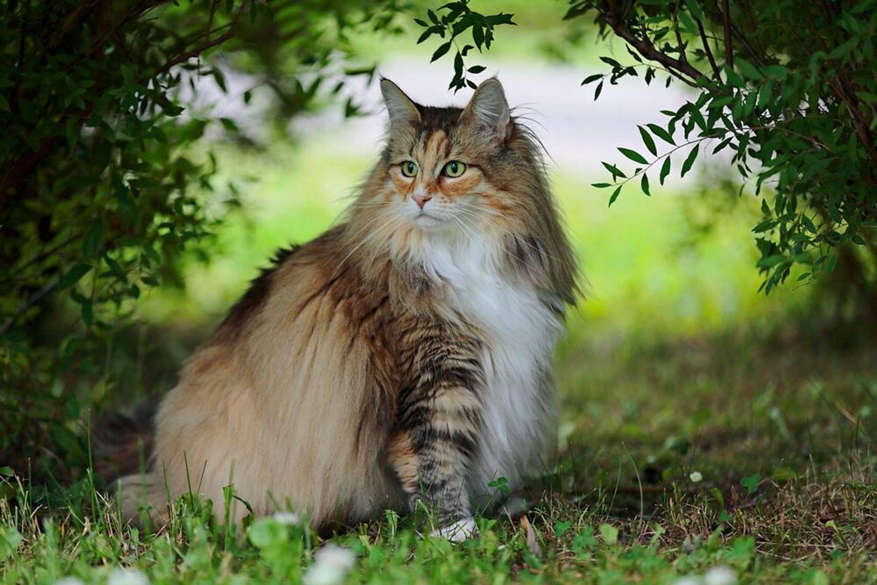 5 Fakta Menarik Kucing Hutan Norwegia