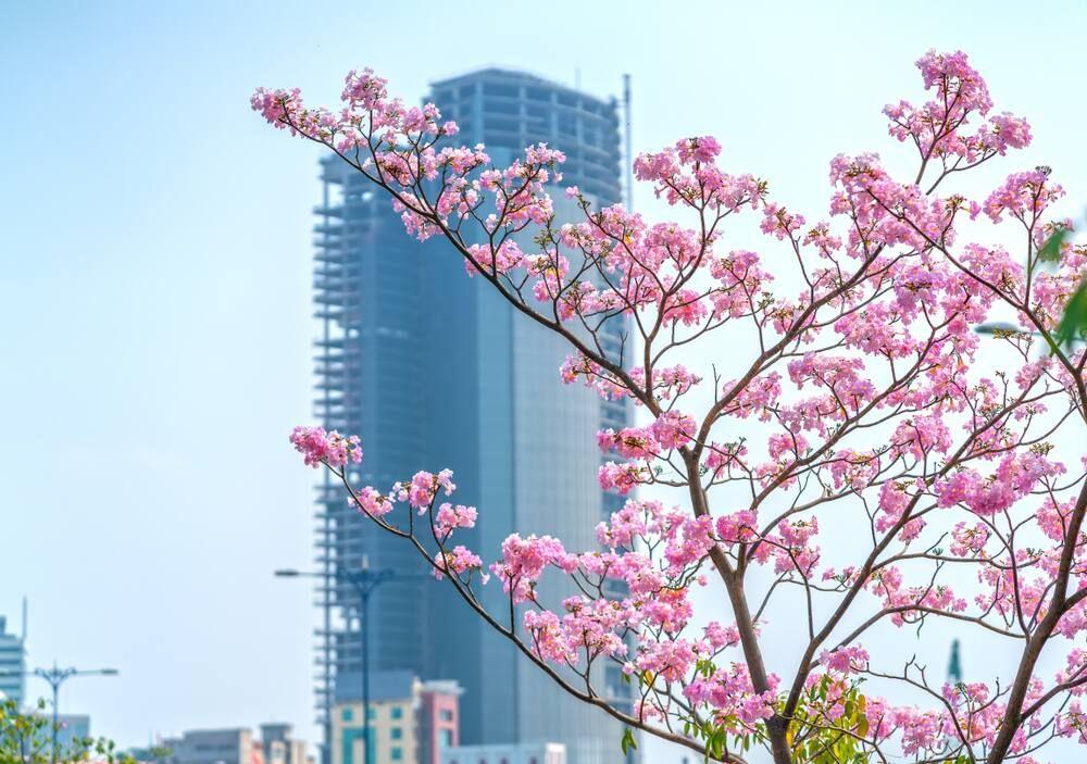 Bunga Tabebuya yang Menghiasi Kota Surabaya Bak Negeri Sakura