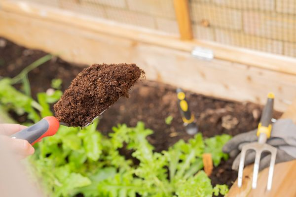 shovel and lettuce in the vegetable garden