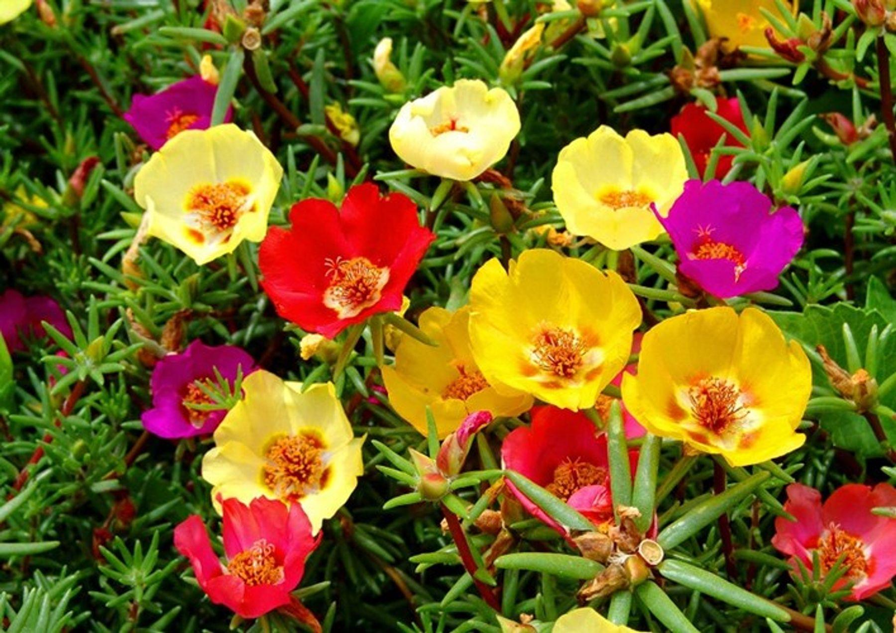 Cây hoa sam làm cảnh