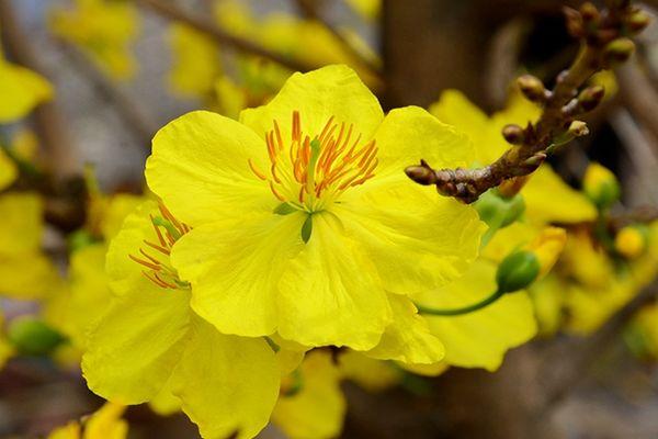 Tết nên chưng hoa gì - hoa mai vàng