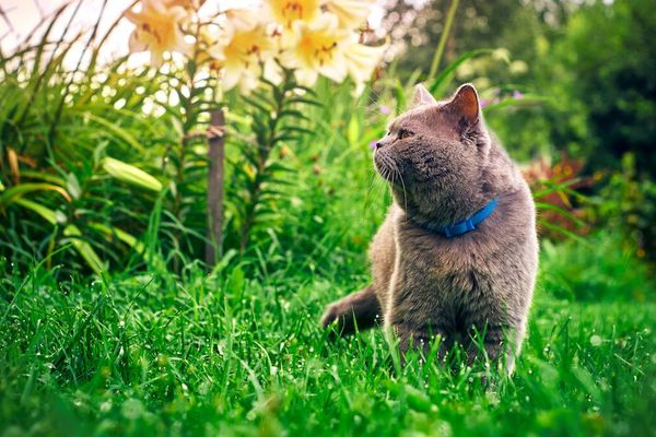 grey cat with blue in collar in garden