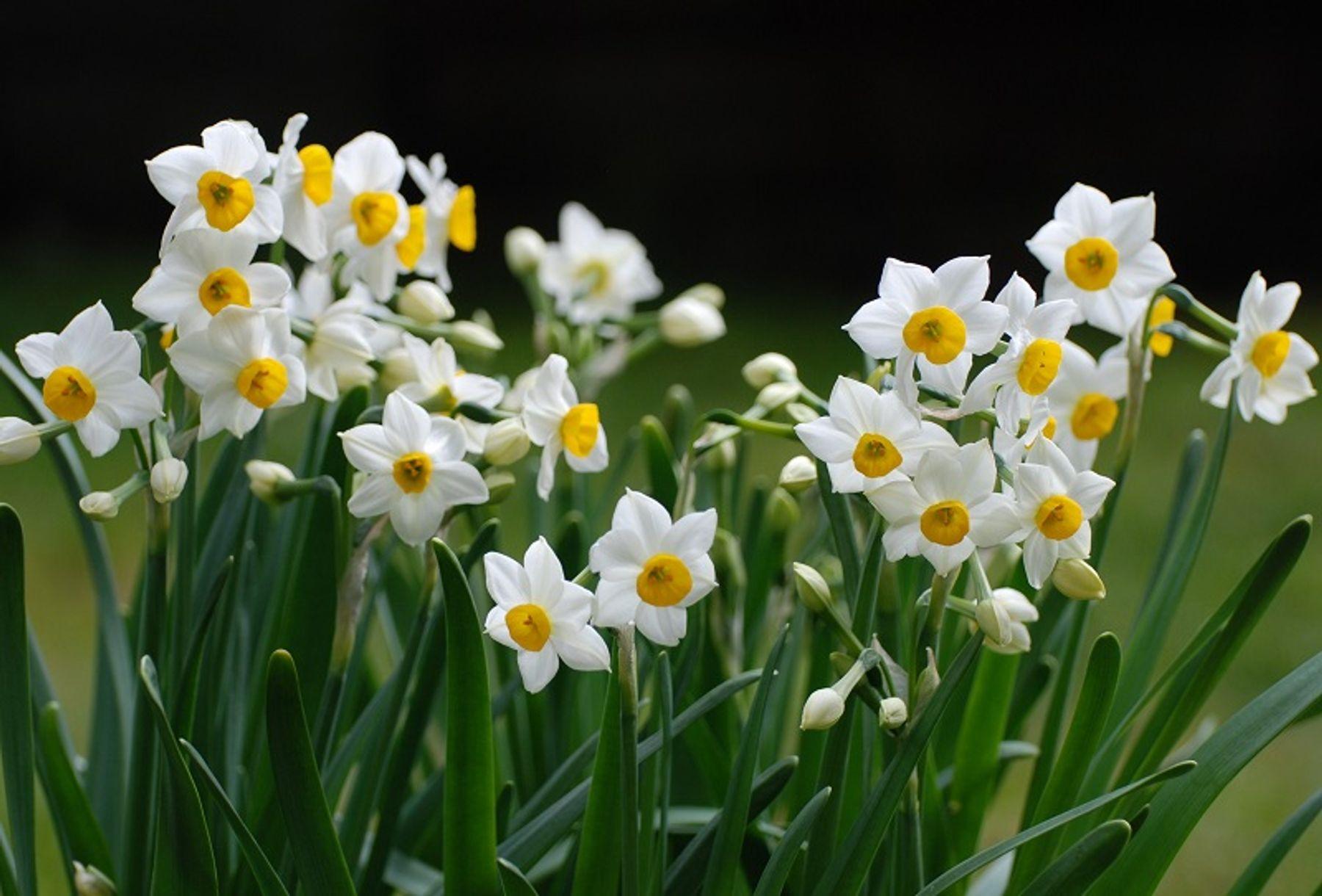Tết nên chưng hoa gì - hoa thuỷ tiên
