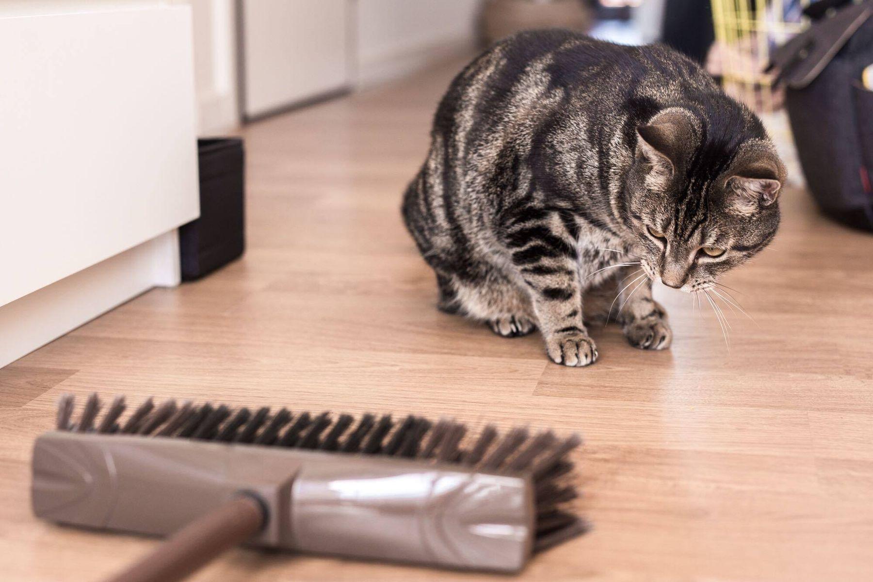 Katze, die einen Besen auf dem Bretterboden betrachtet