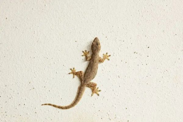 Cómo ahuyentar lagartijas sin hacerles daño