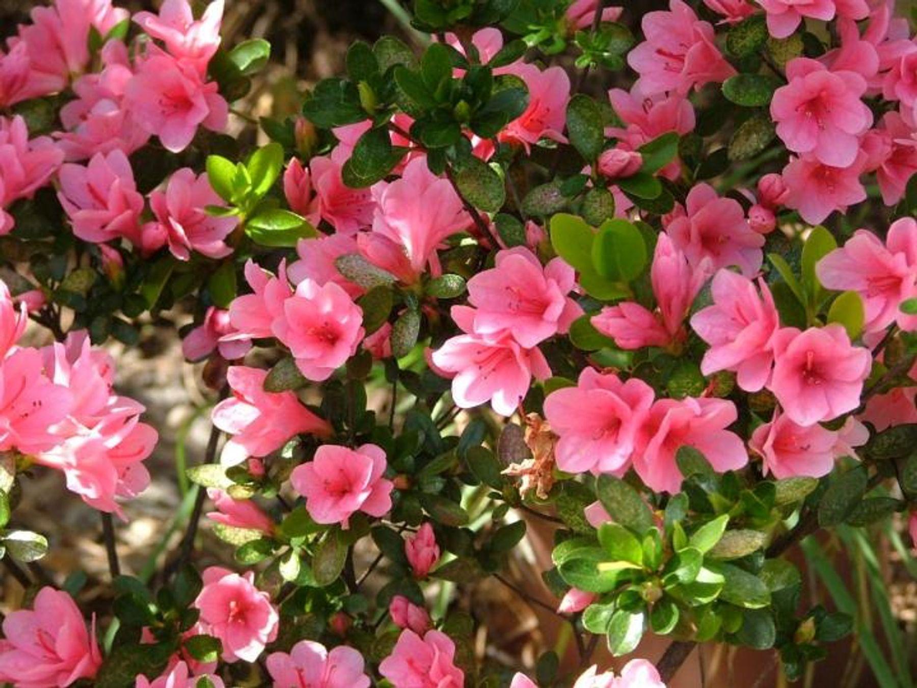 Tết nên chưng hoa gì - hoa đỗ quyên