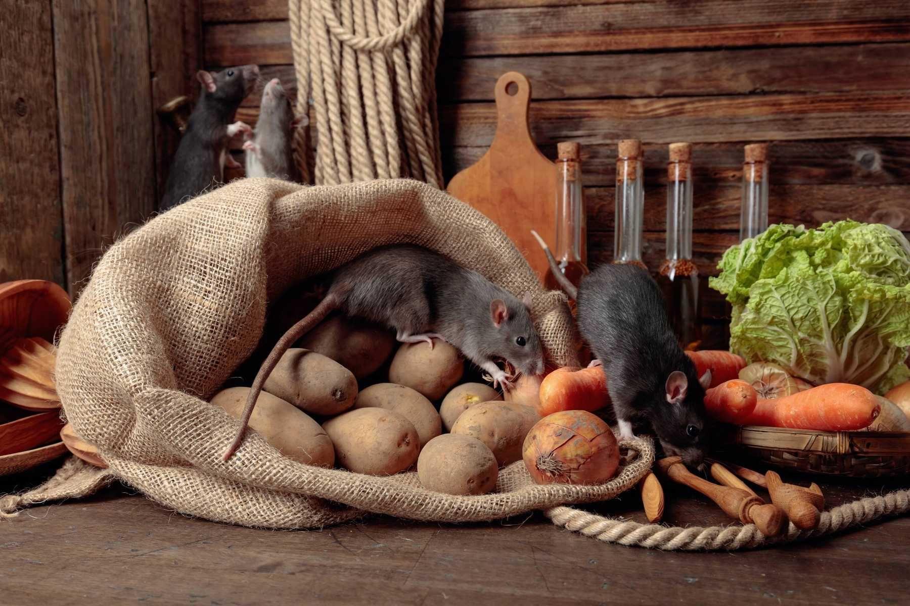 Cách đuổi chuột loại bỏ hết nguồn thức ăn