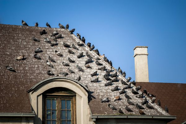 How to get rid of pigeons: Group of pigeons on a roof