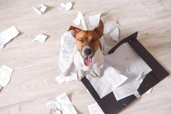 pies niszczący dokumenty papierowe