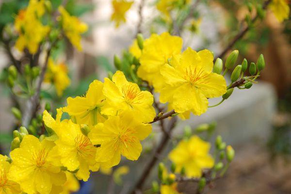 Bí quyết chăm sóc mai vàng sau Tết để năm sau lại có hoa chưng