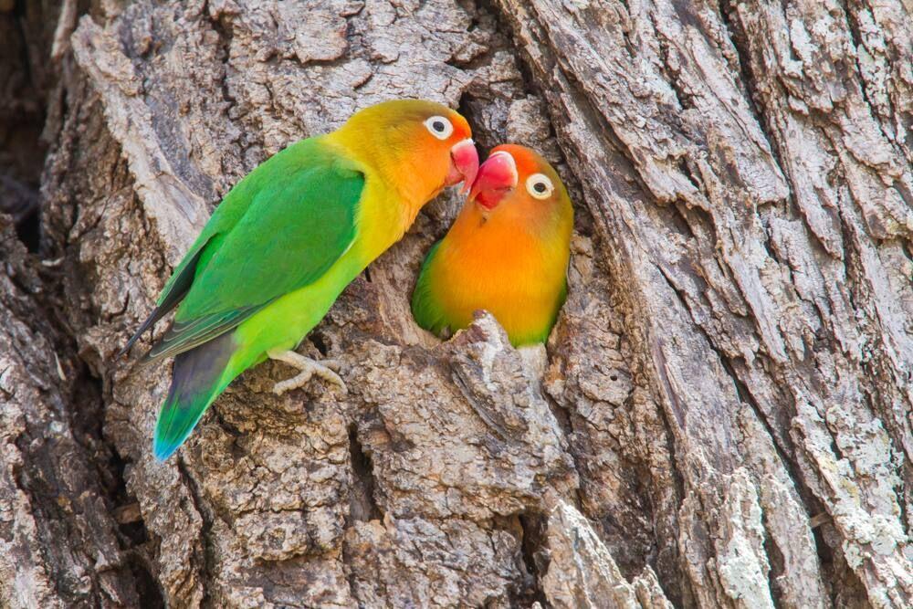 Alasan Lovebird Kacamata Fischer Cocok Dipelihara Bapak-Bapak