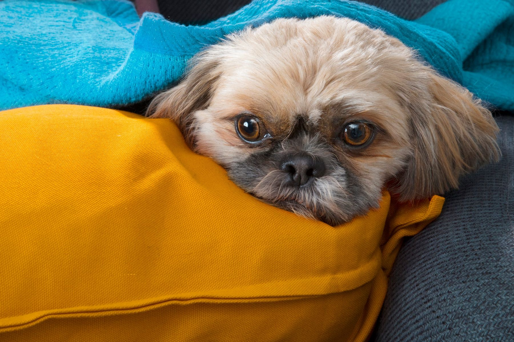 Dog wrapped in blue and yellow blankets