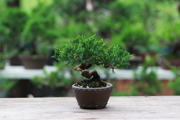 Looking after a bonsai