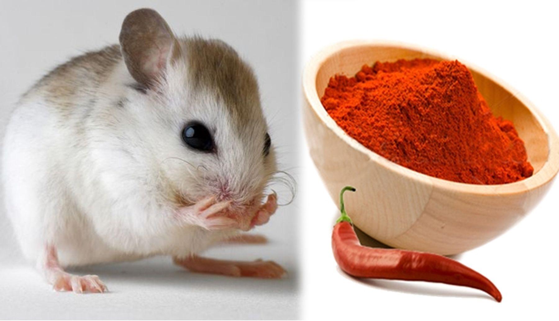 Cách đuổi chuột dân gian bằng bột ớt