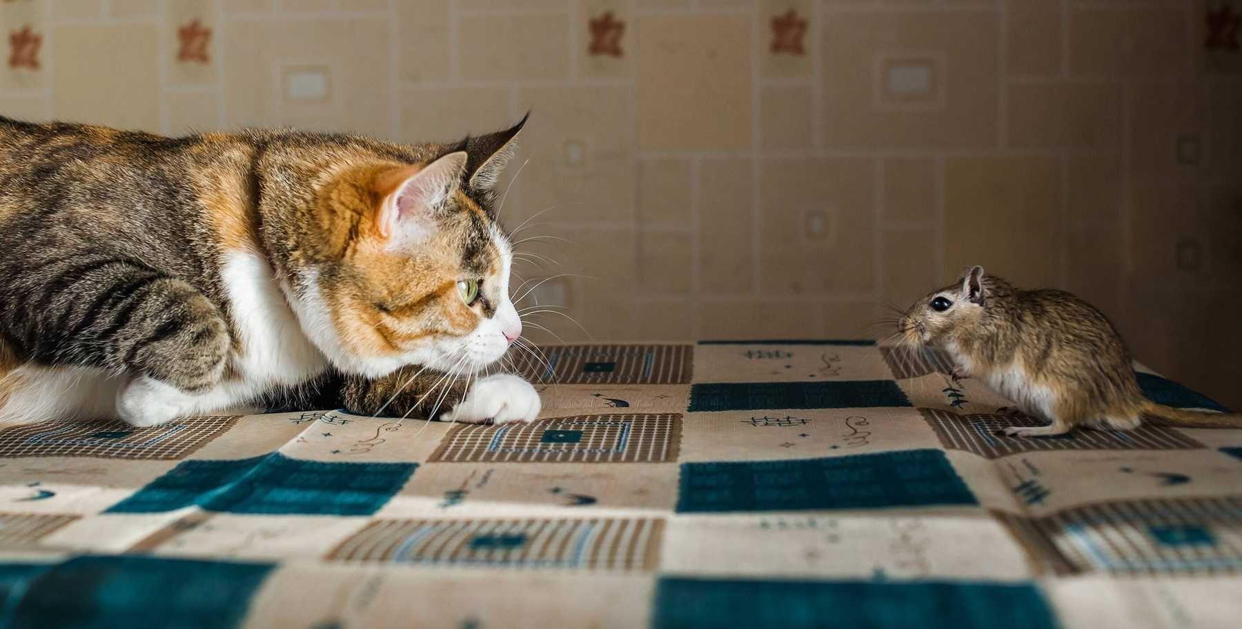 Cách đuổi chuột đơn giản - Nuôi mèo bắt chuột