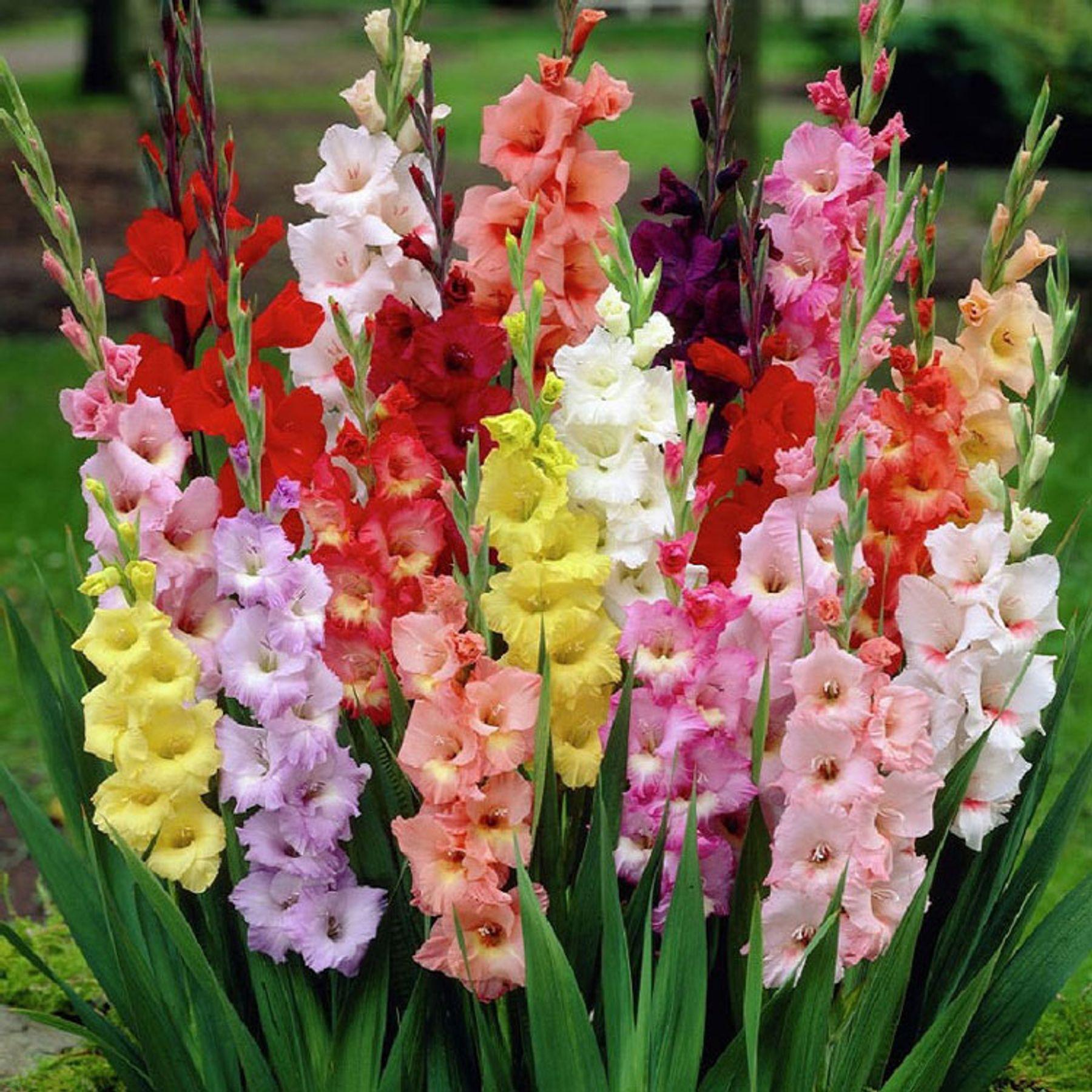 Tết nên chưng hoa gì - hoa lay ơn