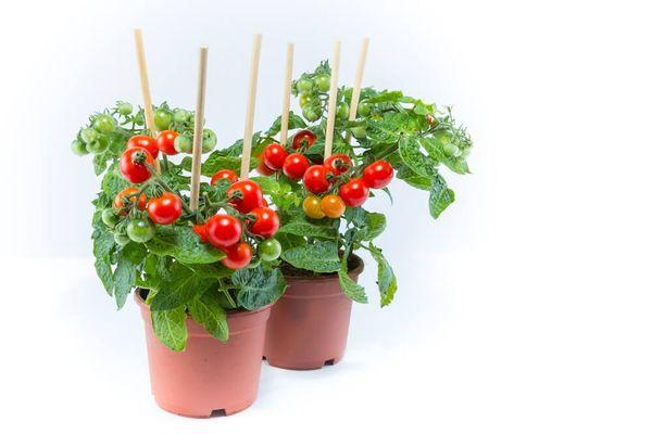 10 Jenis Tanaman Buah yang Cepat Berbuah dan Mudah di Tanam di Pot