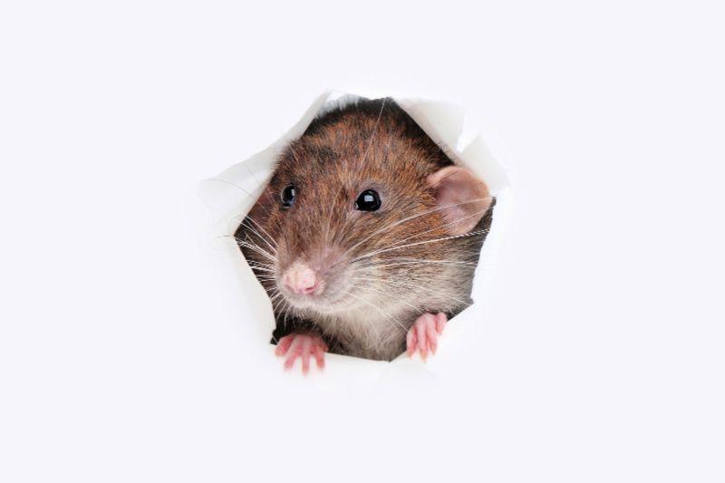 Cách đuổi chuột - Bịt kín các lỗ hổng trong nhà để chuột không chui vào nữa