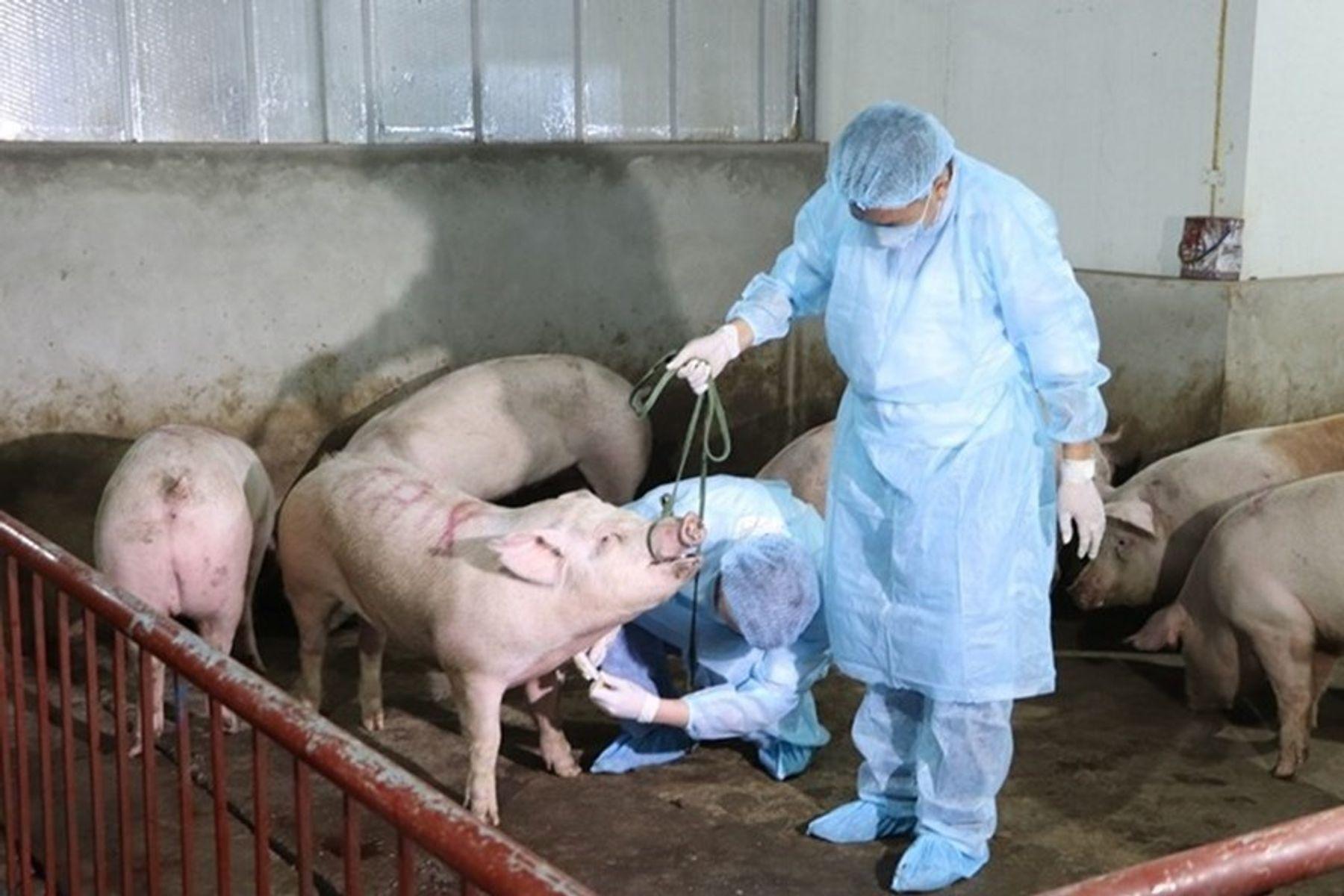 Cách phòng chống dịch tả lợn Châu Phi